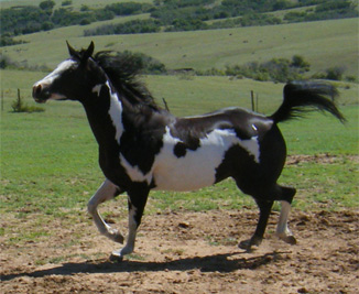 black overo mare prancing, black and white paint