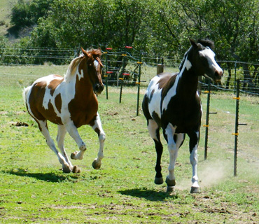 Two American Paint Horses running in the green grass, 1 brown and white, 1 black and white